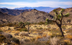 Yucca Brevifolia Joshua Tree National Park Royalty Free Stock Photos