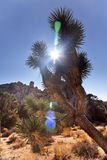 Yucca Brevifolia Sun Flare Joshua Tree Park Stock Image