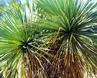 Yucca Cactus Stock Photo