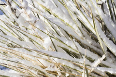 Yucca cactus Royalty Free Stock Photography