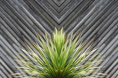 Yucca of cactusinstallatiesamenvatting met diagonale planken van hout in t royalty-vrije stock fotografie