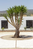 Yucca at center of yard Stock Image