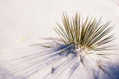 Yucca che attacca su attraverso la neve Fotografie Stock Libere da Diritti
