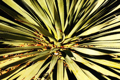 Yucca Close Up. Close up photo of yucca plants natural geometric shapes Royalty Free Stock Image