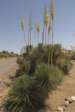 Yucca cluster at City of Rocks State Park Stock Photo