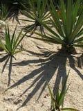 Yucca con ombra Fotografia Stock Libera da Diritti