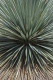 Yucca dasylirion Royalty Free Stock Image