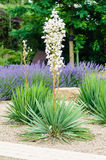 Yucca de floraison blanc Photographie stock