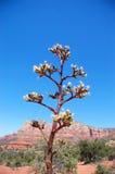 yucca de sedona de centrale Photo stock