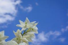 Yucca dei fiori bianchi Immagini Stock