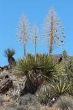 Yucca del Mojave fotografia stock
