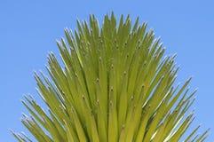 Yucca del Mojave fotografie stock libere da diritti