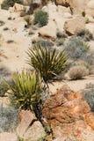 Yucca in der Steinwüste Stockfotos