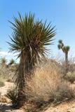 Yucca in der Wüste Lizenzfreie Stockbilder