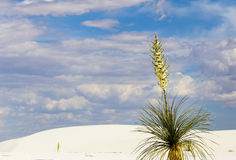 Yucca in the desert. Yucca in bloom growing in the dunes of White Sands National Monument in New Mexico, USA Royalty Free Stock Image