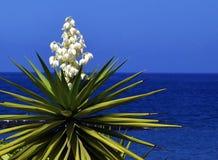 Yucca di fioritura su un fondo del cielo blu Albero della baionetta spagnola Joshua Tree Aloifolia dell'yucca Fotografia Stock