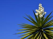 Yucca di fioritura su un fondo del cielo blu Albero della baionetta spagnola Joshua Tree Aloifolia dell'yucca Fotografie Stock