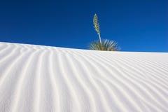 Yucca e areia branca Imagens de Stock Royalty Free