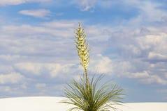 Yucca en fleur Image libre de droits