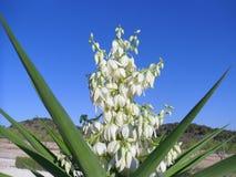 Yucca en pleine floraison Photographie stock libre de droits
