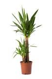 Yucca enkele stam overig. Isolated flower in pot: Yucca enkele stam overig royalty free stock images