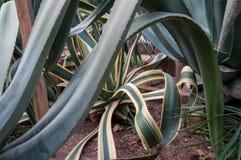 Yucca esotica enorme della pianta Fotografia Stock Libera da Diritti