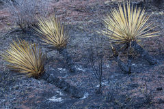 Yucca brûlé par feu de forêt Image libre de droits