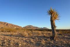 yucca för berg för bakgrundskaktus mogen Royaltyfri Fotografi