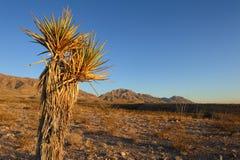 yucca för berg för bakgrundskaktus mogen Arkivbild