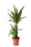 yucca för enkeleoverigstam Royaltyfri Fotografi