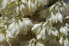 Yucca filamentosa Blüte Stockbild