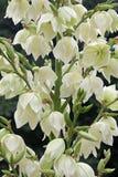 Yucca Filamentosa-Blumen Stockbild
