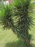 YUCCA FILAMENTOSA. Family; Asparagaceae ,clade; monocot ,multisucring evergreen shrub with heads of 75cm long, filamentous ,Blue-green strappy leaves. It is Royalty Free Stock Photos