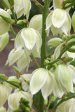 Yucca Filamentosa flowers. Vertical image close-up Stock Photos