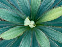 Yucca filamentosa green and blue leaves with sharp and prickly tips close up. Green background of abstract nature patterns and. Designs royalty free stock photography