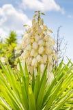 Yucca Filamentosa. Pretty white flowers on a Yucca Filamentosa plant Stock Image