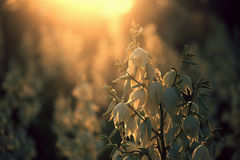 Yucca filamentosa is a species of flowering plant in the family Asparagaceae. in the soft evening light. flowers Plantation. Yucca filamentosa is a species of Stock Photo