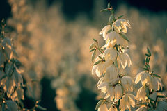 Yucca filamentosa is a species of flowering plant in the family Asparagaceae. in the soft evening light. flowers Plantation. Yucca filamentosa is a species of Royalty Free Stock Image