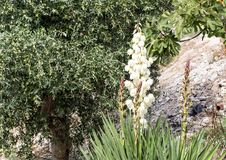 Yucca Filamentosa white flower spike in Alberobello, Italy. Pictured is a tall white flower spike of Yucca Filamentosa in Alberobello, Italy.  Its common names Stock Image