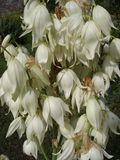 Yucca filamentosa, white flowers close up.  Stock Photos