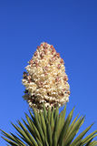 Yucca Flower. A photo of a yucca flower against a blue sky Stock Photo