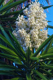 Yucca flower Royalty Free Stock Photos