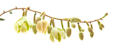 Yucca flower Stock Photography