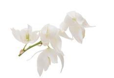 Yucca flower isolated. On white background stock photos