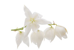 Yucca flower isolated. On white background royalty free stock photos