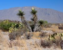 Yucca Flowers in the Desert Landscape Stock Photo