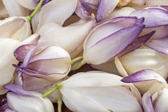 Yucca flowers. Macro closeup of pile of fresh picked chaparral yucca Hesperoyucca whipplei flowers stock photos