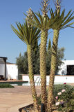 A yucca in front of a swimming pool Royalty Free Stock Images