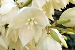 Yucca. In garden with white bell-shaped flowers Royalty Free Stock Photos