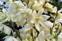 Yucca. In garden with white bell-shaped flowers Stock Photo